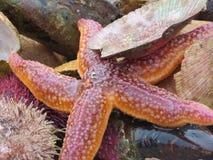 Estrela do mar e sealife imagem de stock