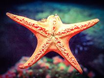 Estrela do mar em uma missão Imagens de Stock
