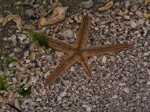 Estrela do mar na associação rasa do mar Imagens de Stock Royalty Free