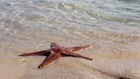 Estrela do mar na costa o Algarve de Ria Formosa Fotos de Stock