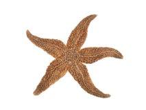 Estrela do mar no fundo branco Foto de Stock