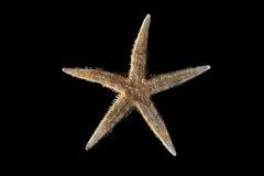 Estrela do mar no fundo preto Imagem de Stock Royalty Free