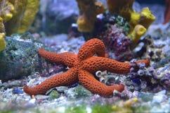 Estrela do mar ou Seastar fotos de stock royalty free