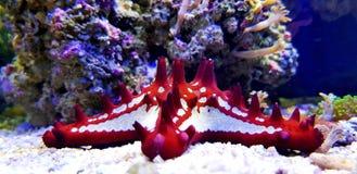 Estrela do mar vermelha do botão - linckii de Protoreaster fotografia de stock royalty free