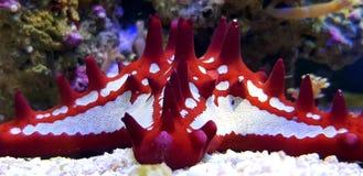 Estrela do mar vermelha do botão - linckii de Protoreaster foto de stock royalty free