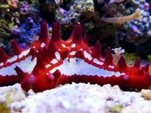 Estrela do mar vermelha do botão - linckii de Protoreaster imagem de stock