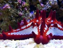 Estrela do mar vermelha do botão - linckii de Protoreaster fotos de stock royalty free