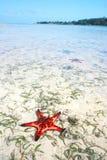Estrela do mar vermelha na lagoa tropical da ilha Fotos de Stock