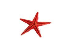 Estrela do Mar Vermelho Imagem de Stock