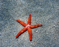 Estrela do Mar Vermelho Fotos de Stock