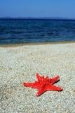 Estrela do Mar Vermelho na praia Fotos de Stock Royalty Free