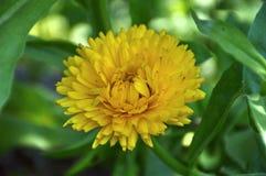 Estrela dourada de um dente-de-leão comum Fotos de Stock