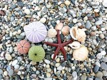 Estrela, ouriços-do-mar e escudos de mar Fotografia de Stock Royalty Free