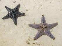 Estrelas de mar Imagem de Stock Royalty Free