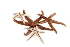 Estrelas de mar secadas isoladas no fundo branco Imagens de Stock