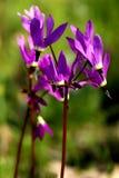 Estrelas de tiro - Wildflowers de Oregon imagens de stock royalty free