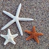 Estrelas do mar no Sandy Beach Fotografia de Stock