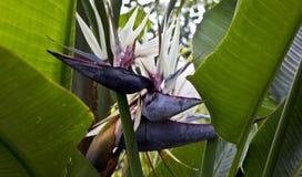 Estrelitzia gigante Obraz Stock