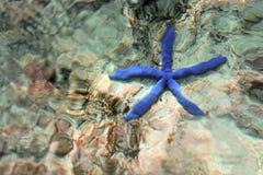 Estrella azul - laevigata de Linckia Imagen de archivo libre de regalías