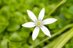 Estrella de Belén Imagen de archivo