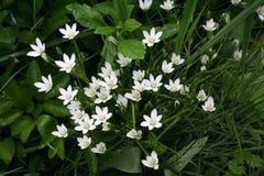 Estrella-de-Belén florece medio abierto imágenes de archivo libres de regalías