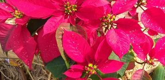 Estrella de la Navidad Poinesettia fotos de archivo
