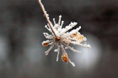 Estrella de la nieve Fotografía de archivo libre de regalías