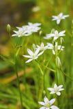 Estrella de las flores del Ornithogalum de Belén Fotos de archivo