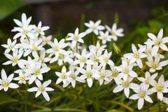 Estrella de las flores del Ornithogalum de Belén Imagen de archivo libre de regalías