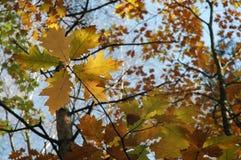 Estrella de las hojas (otoño) Foto de archivo libre de regalías