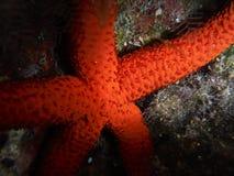 Estrella de mar fotografía de archivo libre de regalías