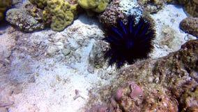 Estrella de mar azul con la espina almacen de metraje de vídeo