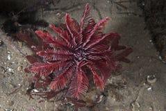 Estrella de mar-como erizo de mar Foto de archivo libre de regalías