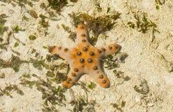 Estrella de mar de cuernos - nodosus de Protoreaster Fotografía de archivo libre de regalías