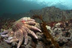 Estrella de mar del girasol Foto de archivo libre de regalías