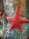 Estrella de mar en rock Fotos de archivo libres de regalías