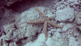Estrella de mar espinosa egipcia en el fondo del mar almacen de video