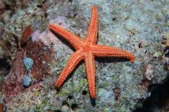 Estrella de mar Noduled Imágenes de archivo libres de regalías