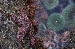Estrella de mar ocre Fotos de archivo libres de regalías