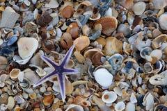 Estrella de mar real o estrellas de mar púrpuras Imagen de archivo libre de regalías