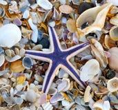 Estrella de mar real o estrellas de mar púrpuras Imagen de archivo