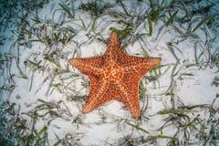 Estrella de mar roja del amortiguador imagen de archivo libre de regalías