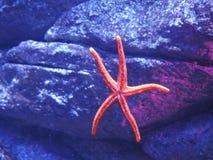 Estrella de mar rosada Fotografía de archivo