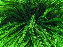Estrella de pluma verde Fotos de archivo