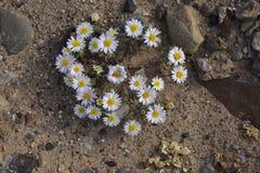 Estrella del desierto Foto de archivo libre de regalías