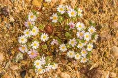 Estrella del desierto Imagenes de archivo