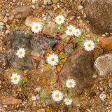 Estrella del desierto Imagen de archivo libre de regalías
