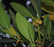 Estrella japonesa Anise Yellow Flower fotografía de archivo libre de regalías