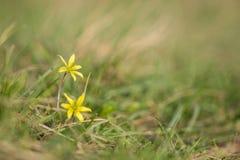 Estrella melenuda del villosa de Belén Gagea que florece en hierba verde Fotos de archivo