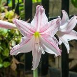 Estrella rosada lilly Fotografía de archivo